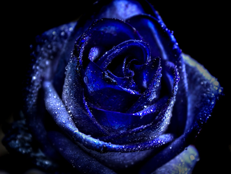 Blue_rose_HDR_by_eyedesign