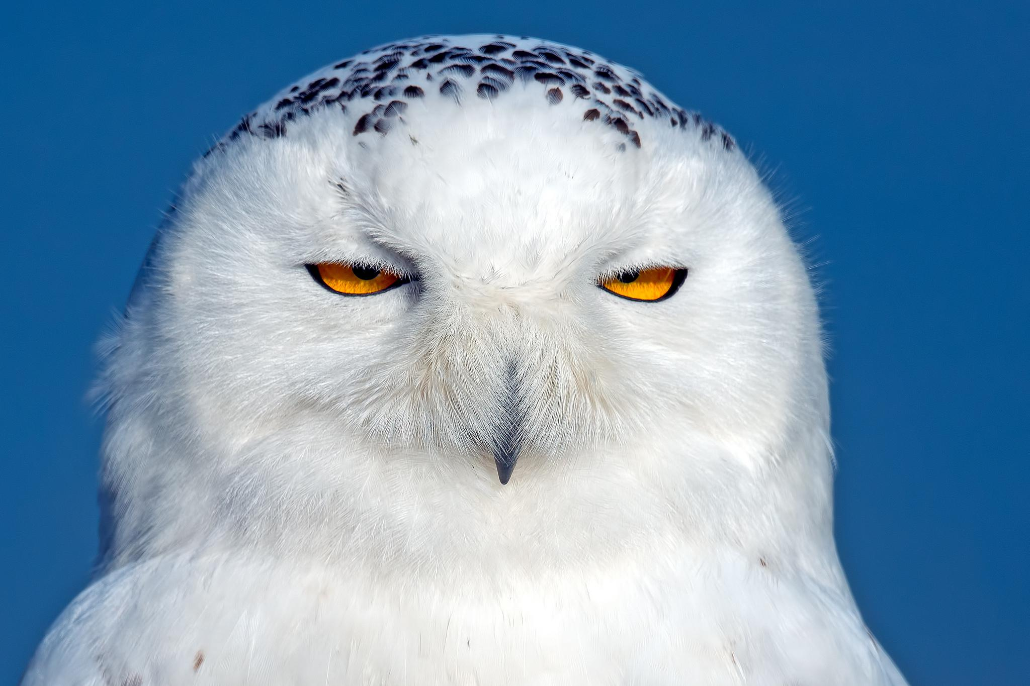 Snowy Owls With Blue Eyes | www.pixshark.com - Images ...
