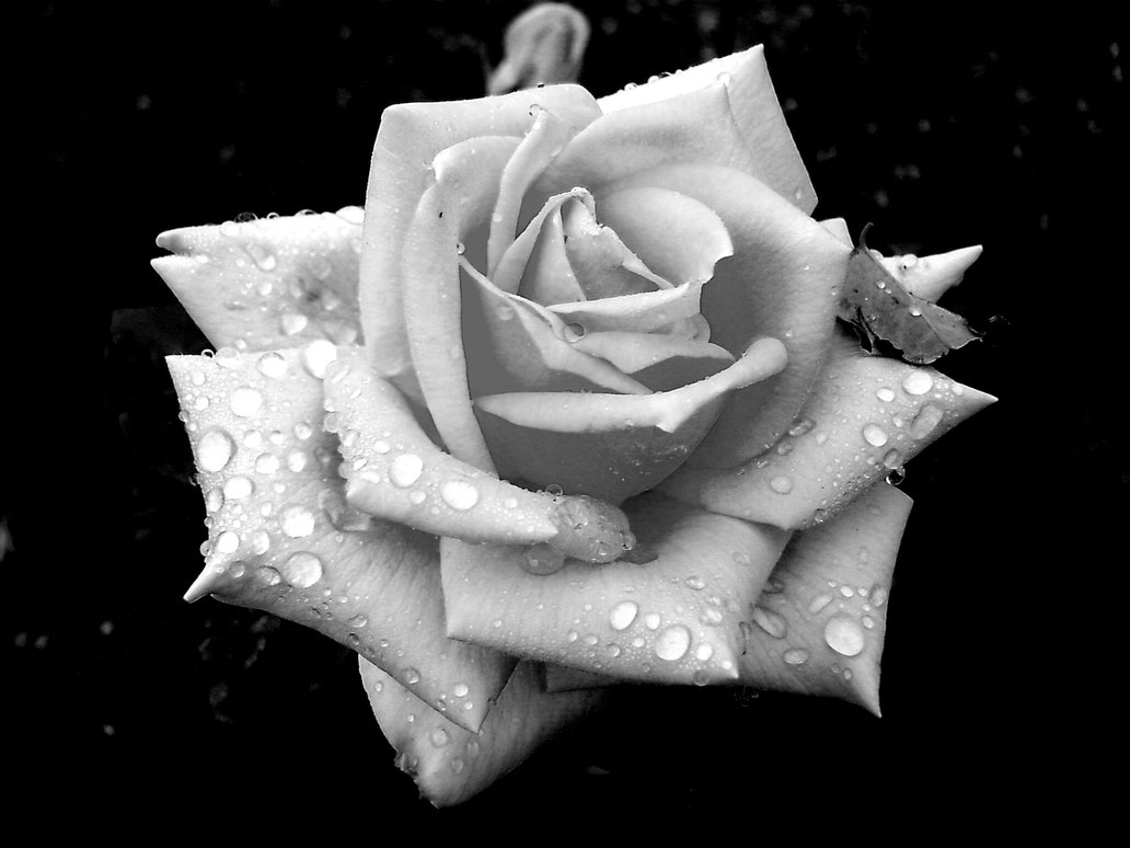 raindrops on rose