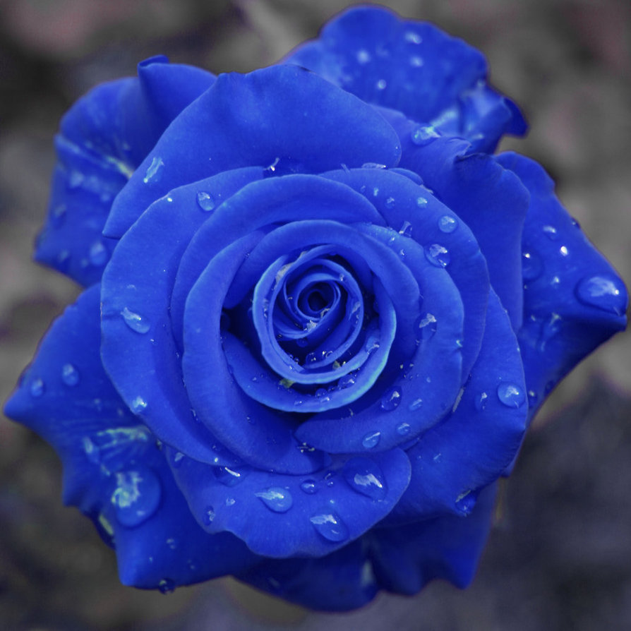 red rose turned blue