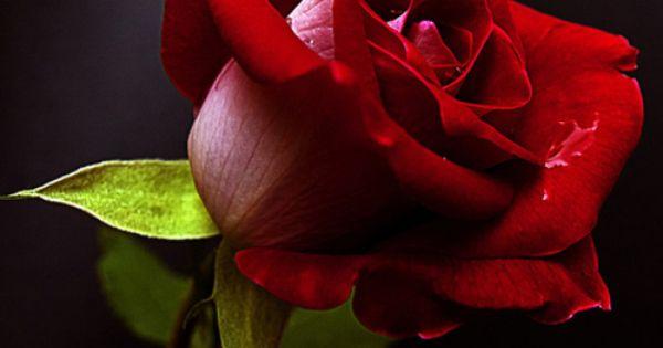 women love roses