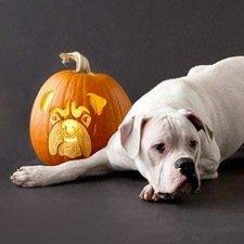 american bulldog pumpkin