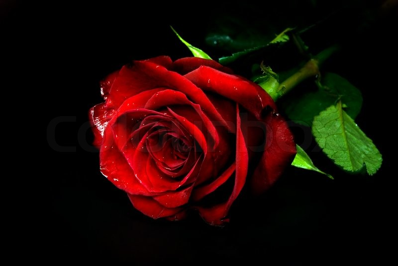 dark-red-rose-image