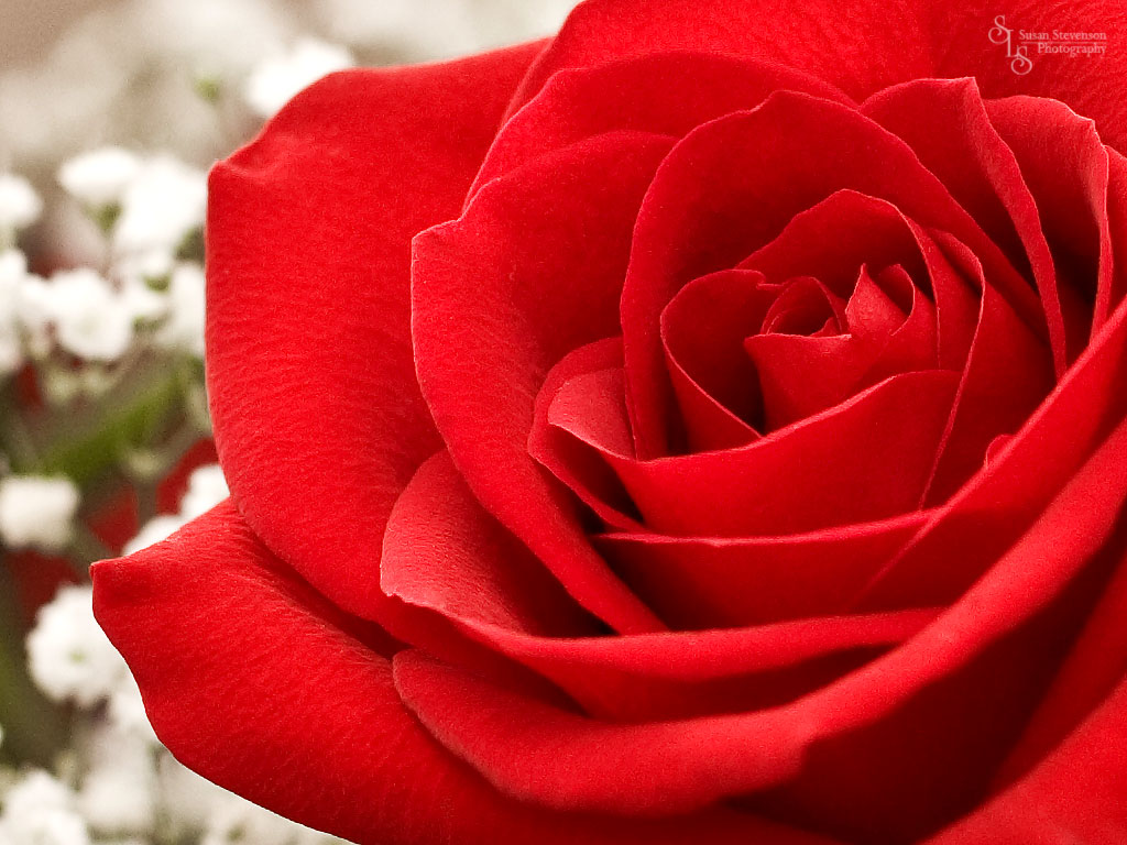 fresh-red-rose-garden