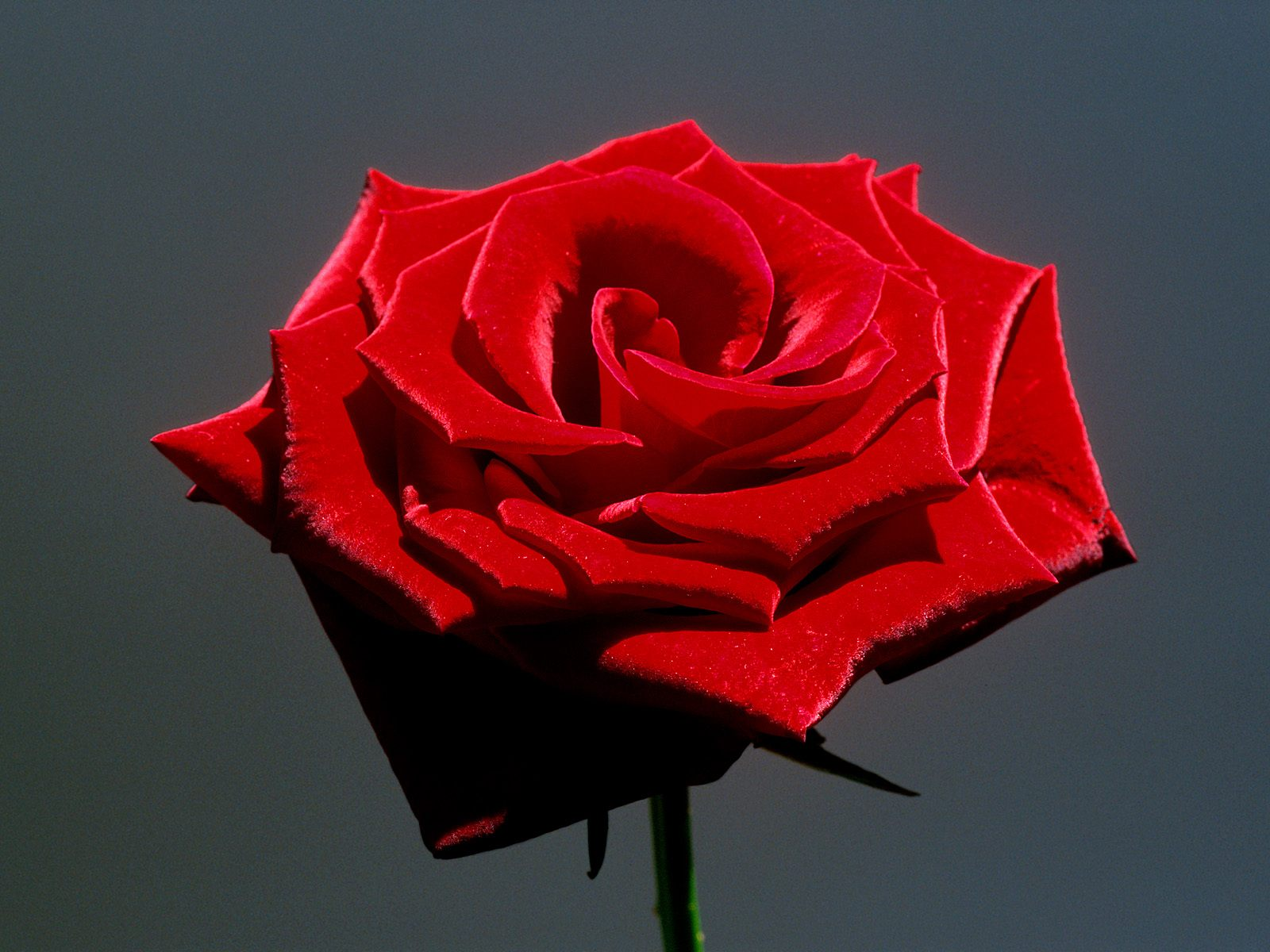 fresh-red-rose