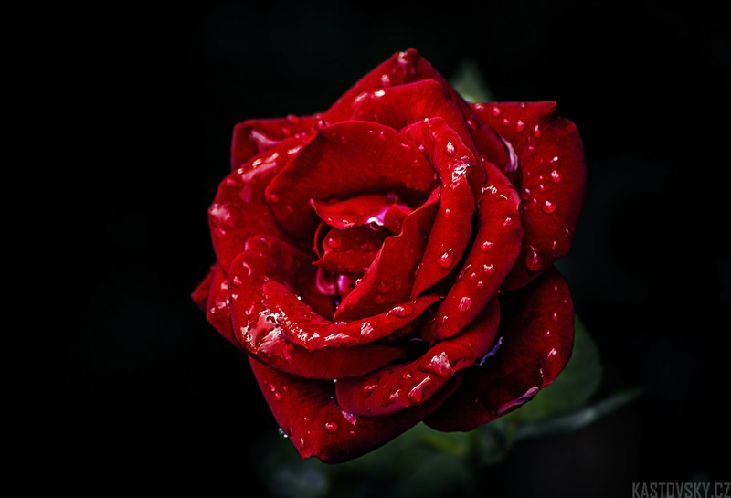 gorgeous-red-rose-breed