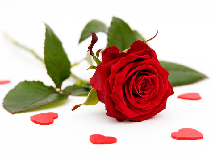 love-rose-picture