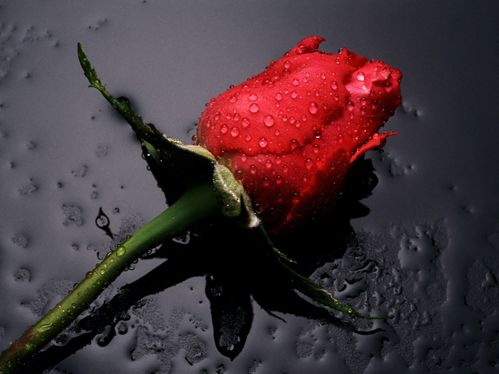 25 lovely and beautiful red rose pictures for valentines