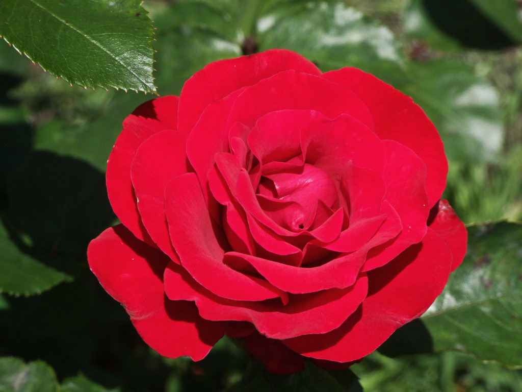 lovely-pink-red-rose