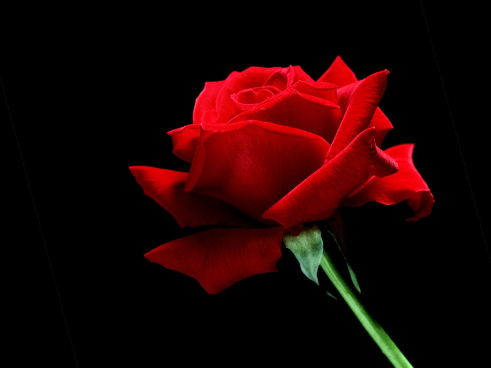 red-rose-love