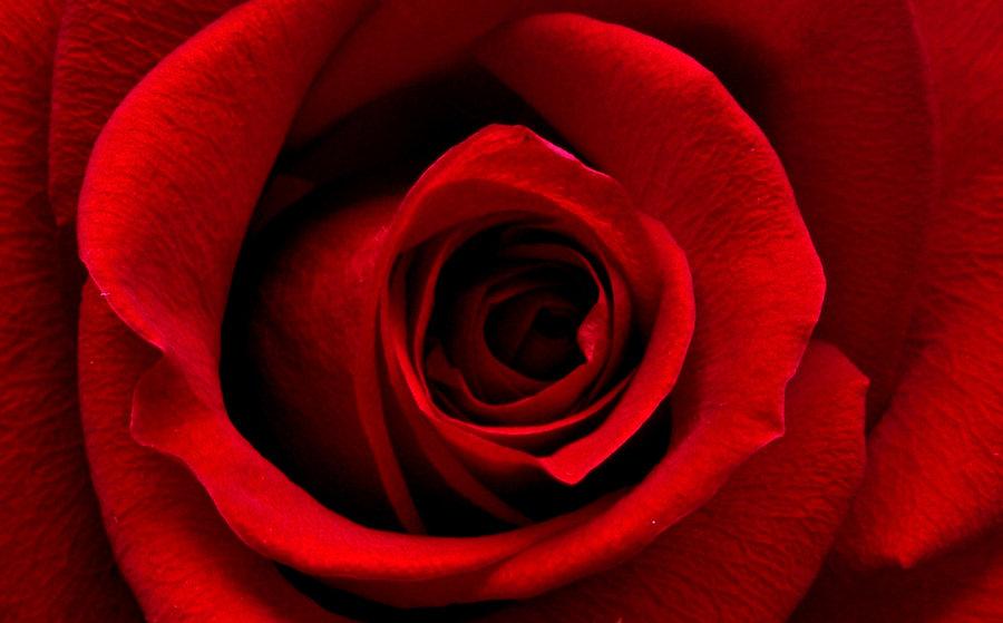 romantic-red-rose