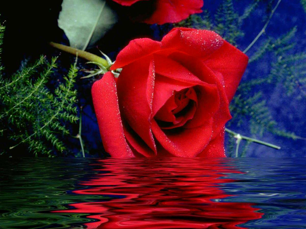 lovely and beautiful red rose pictures for valentines, Beautiful flower
