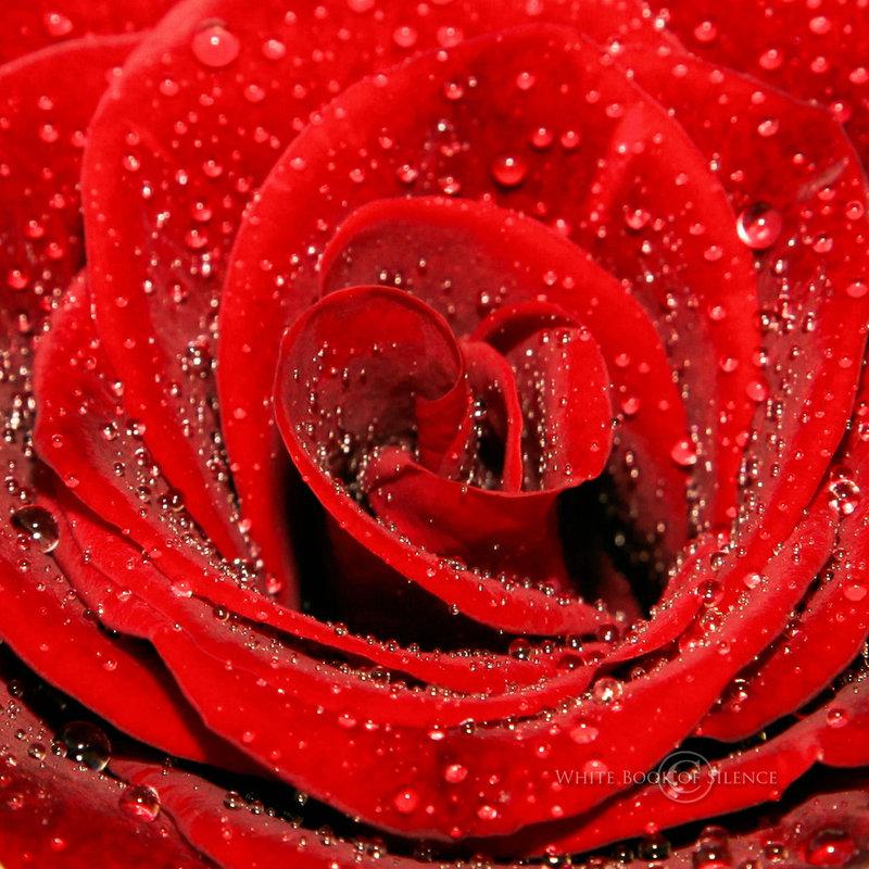 shimmering-red-rose